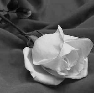 rosa_blanca-1